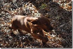 irish puppies (mossxcara) 020