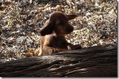 irish puppies (mossxcara) 021