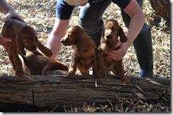 irish puppies (mossxcara) 084