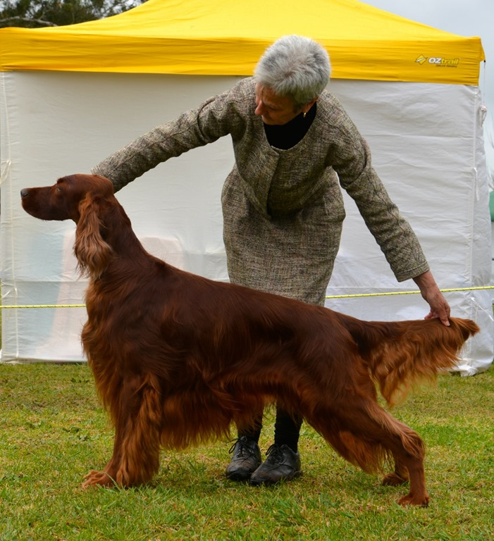 new australian champion irish setters australia