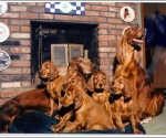 Evergreen Irish Setters (Mary Merlo, USA) Family photograph