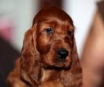 Hugo/Ginger Frozen semen puppy