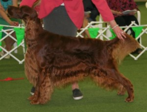 Aust Bred Dog 2nd - Brodruggan Rogue Trader2