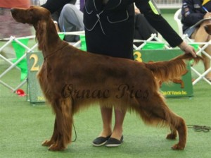 Aust Bred bitch 2nd - Rhiannon Irish Treasure2