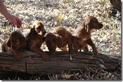 irish puppies (mossxcara) 087
